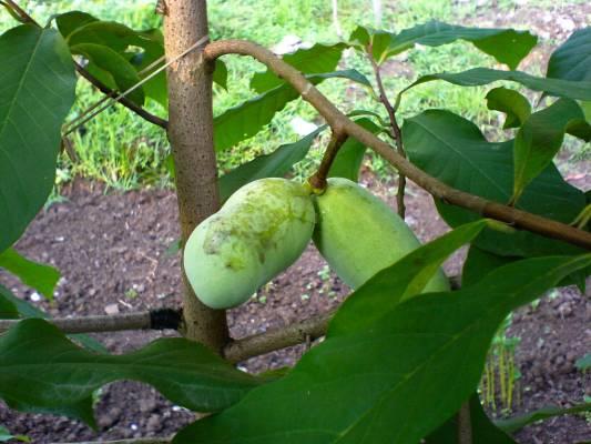 Азимина выращивание в средней полосе 71