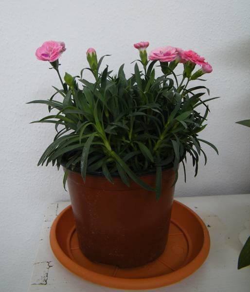 Астра цветок выращивание в горшке 63