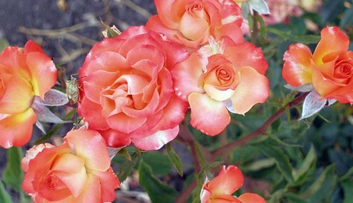 цветы вызывающие аллергию фото